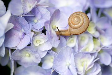 紫陽花にカタツムリ1