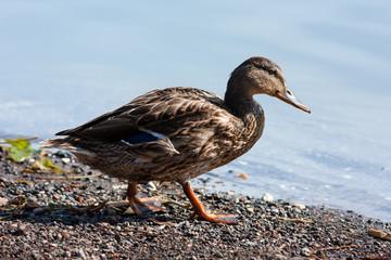 duck on land
