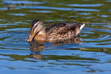 feeding wild duck