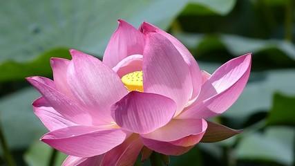 蓮の花_4