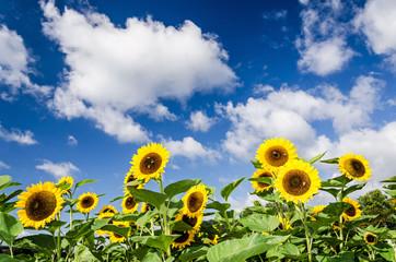 Sommer Sonnenblumen Himmel