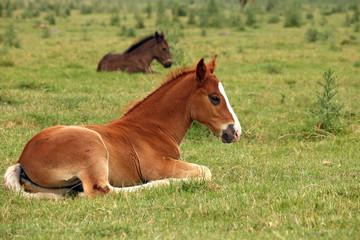 horse foals lying on field