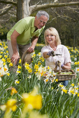 Senior couple with basket and pruning shears picking daffodils in sunny garden