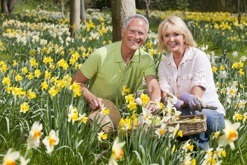 Portrait of smiling senior couple with basket picking daffodils in sunny field