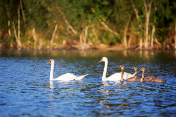 Youngs and two white adult swan at lake