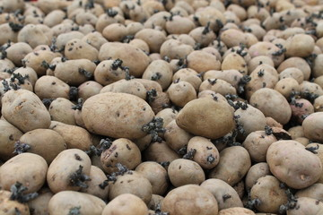 A Collection of Seed Potatoes Just Prior to Sowing.