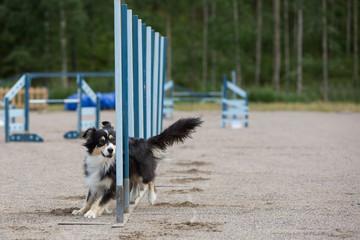 Dog in the agility slalom