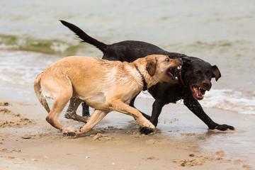 zwei Labrador Retriever Hunde spielen am Strand