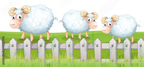 Three sheeps - 69310248