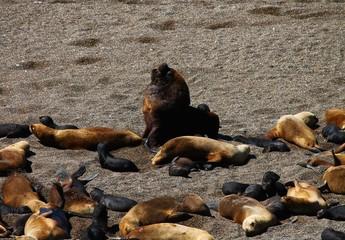 Leoni marini nella Penisola de Valdes