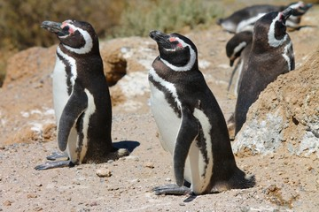 Pinguini de Magallanes
