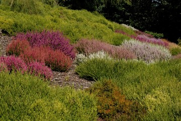 multicolor blossoming heathers in a garden