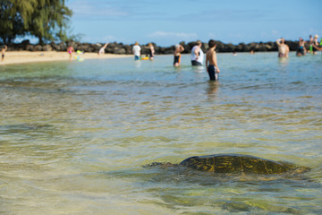 Green Turtle swimming near the shore in Hawaii