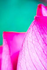 pink lotus