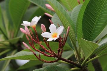 Frangipani flowers and buds