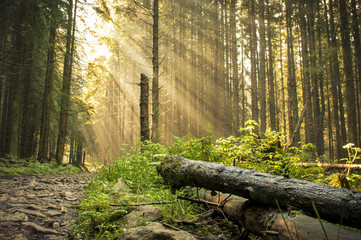 Beautiful morning in the forest with sunbeams.