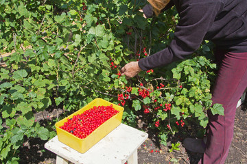 Harvest of red currants on a sunny day