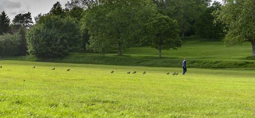 Ducks following a man