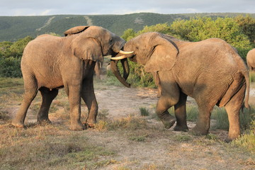 Pair of African Elephants fighting