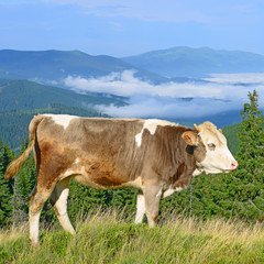 The calf on a summer mountain pasture