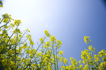 Close up of canola against blue sky