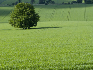 Green fields and tree