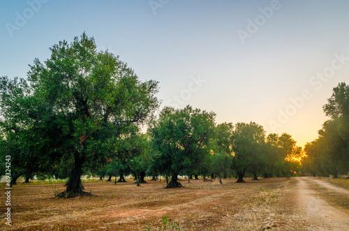 In de dag Olijfboom Puglia, Italy, Olive trees