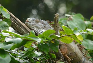 Garden Fence Lizard (Iguana iguana)