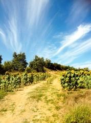 Campo de girasoles en Burgos