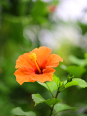 ハイビスカスの花と蕾