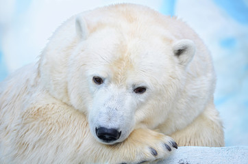 Полярный медведь.