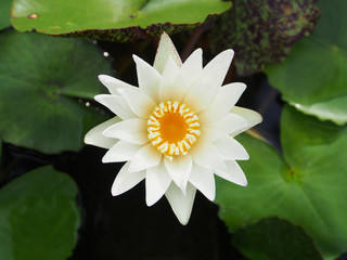 white lotus (water lily) blooming in pond