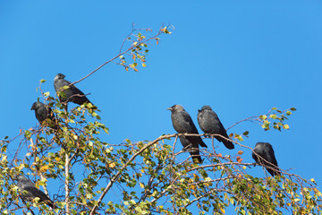 Jackdaws sitting in a birch tree
