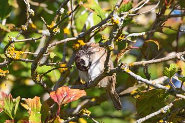 Tree Sparrow in a tree