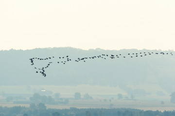 Flock of geese flying