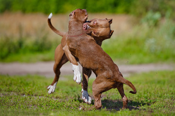 two pit bulls playing