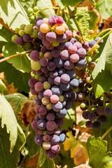 Racimo de uvas en parra