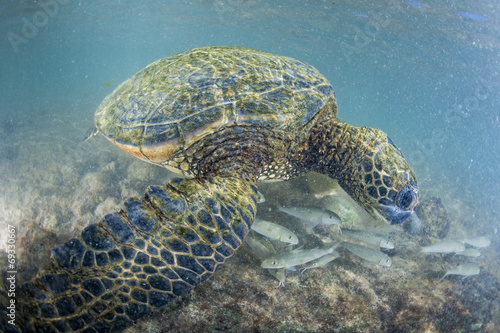 Foto op Canvas Schildpad green turtle underwater close up near the shore