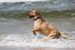 canvas print picture - Labrador Retriever Hund spielt in den Wellen der Ostsee