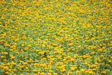 Marigold ( Tagetes erecta) flower field