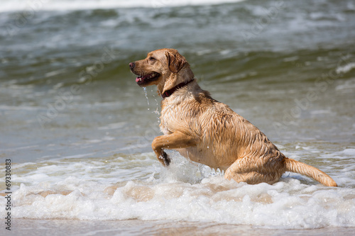 canvas print picture Labrador Retriever Hund spielt in den Wellen der Ostsee
