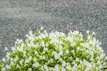 Torenia or Wishbone flower