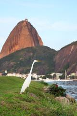 White Great Egret, Sugarloaf mountain, Rio de Janeiro