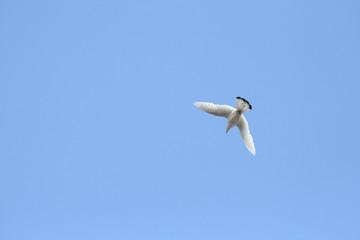 Weiße Taube im Flug