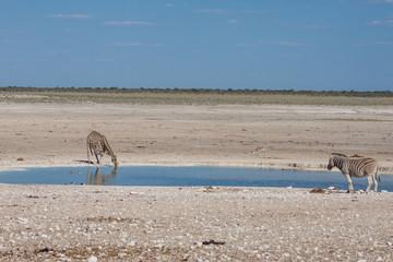 Giraffe (Giraffa camelopardalis) am Wasserloch