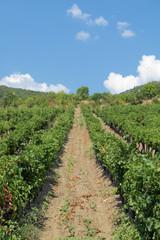 Vineyard, Crimea, Russia