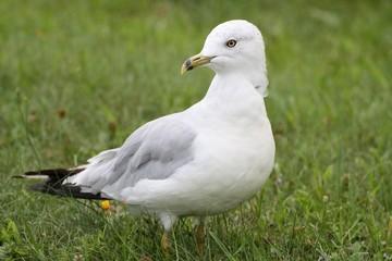 Segal bird