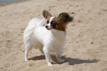 Small doggie of breed of papillon on a sandy beach
