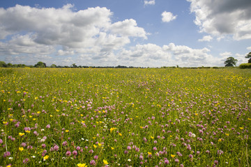 Tranquil field of blooming buttercups
