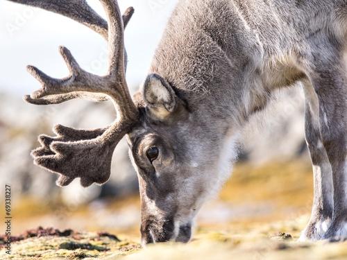 Deurstickers Scandinavië Wild reindeer portrait - Arctic, Spitsbergen